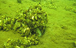 Underwater photo of native Mille Lacs Lake mussel after zebra mussels.