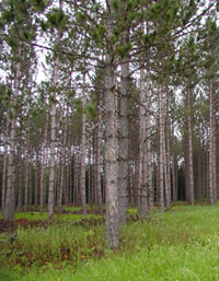 image: Pine Forest