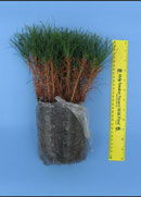photo:Containerized Red Pine seedling wrapped