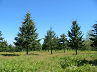 photo of a pine grove
