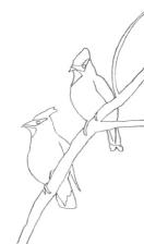 drawing of Cedar Waxwing birds