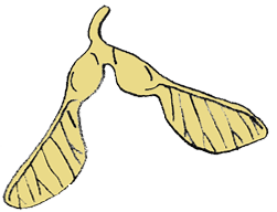 graphic of Maple seed