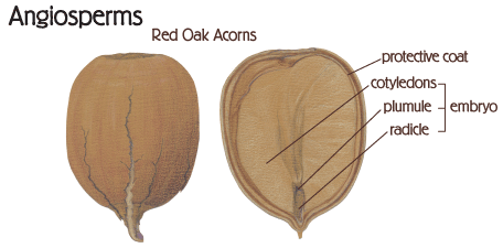 graphic: Angiosperms shown in Red Oak Acorn