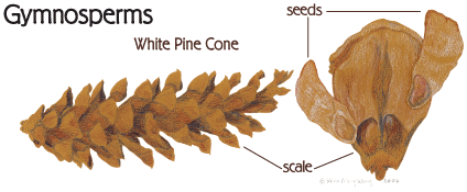 graphic: White Pine Cone showing Gymnosperms