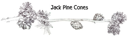 graphic: Jack Pine cones on branch