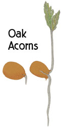 graphic: Oak Acron sprouting