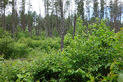 Central Dry Pine Woodland photo