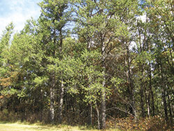 Photo of a Jack Pine forest