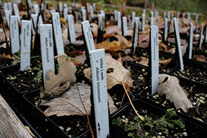 close of plant labels for wild leeks