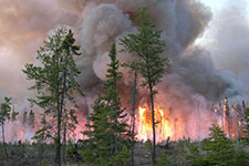 large fire engulfing pine trees.