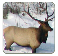 Bull elk during winter in northwestern Minnesota