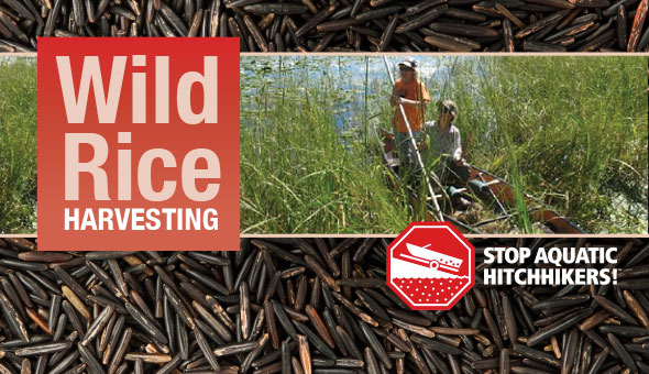 Wild Rice Harvesters. Prevent the spread of Aquatic Invasive Species