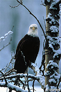 Bald eagle photograph.