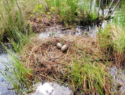 Loon's nest