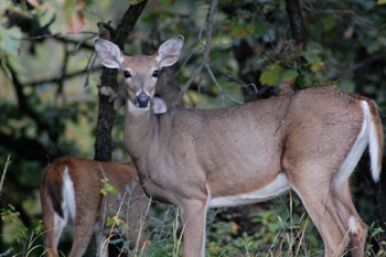 2 whitetail deer
