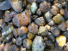 Freshwater Mussels on the St. Croix River