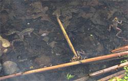 diseased frog