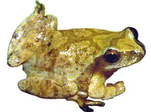 Spring Peeper Treefrog