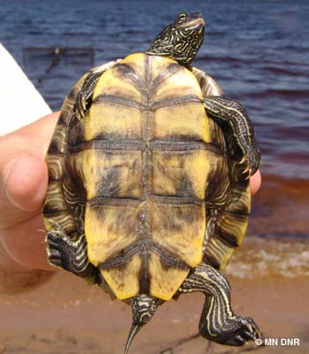 False map turtle plastron