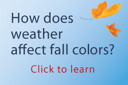 how does weather affect fall colors? Click to learn.
