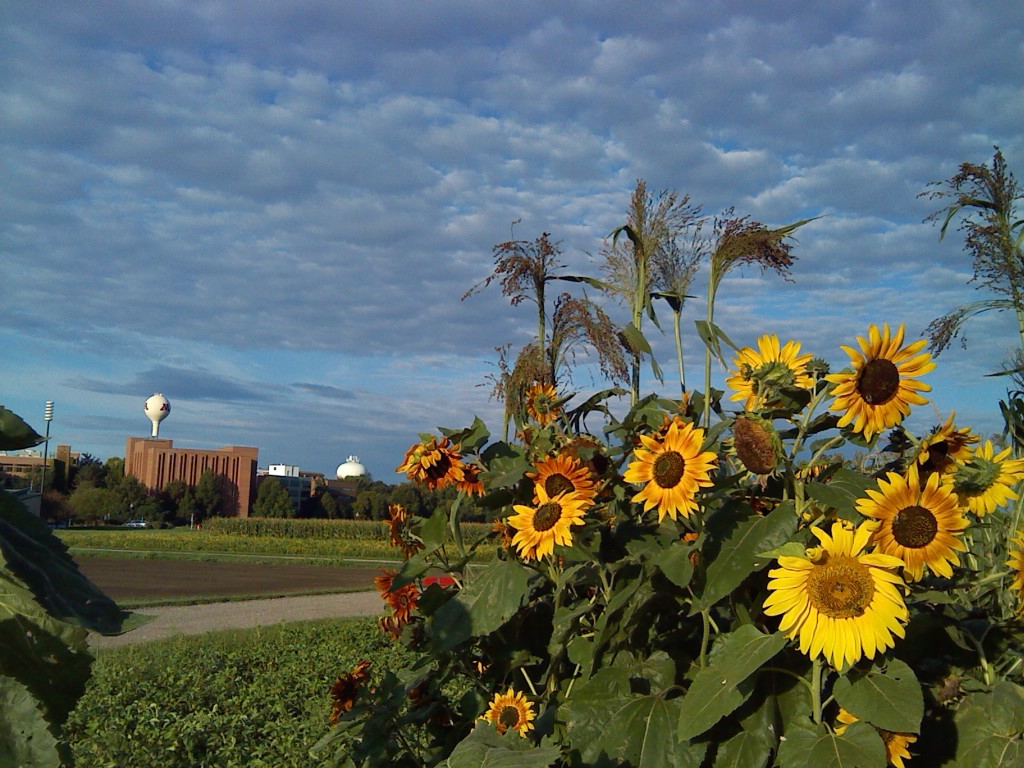 Sunflowers on a Pleasant September Day in 2015