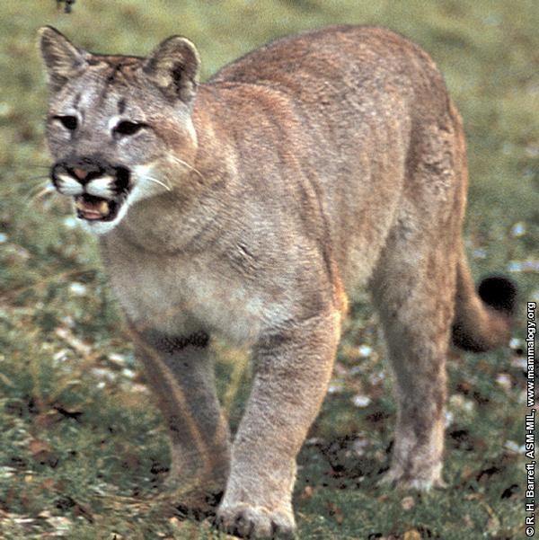Cougar photograph
