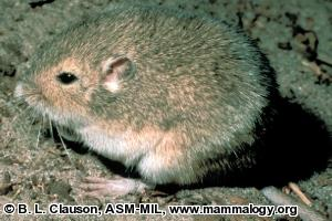 Plains Pocket Mouse