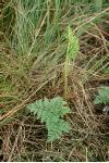 Botrychium rugulosum