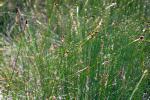 Carex exilis