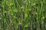 Carex michauxiana