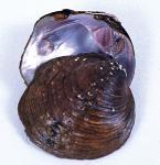 Cyclonaias tuberculata