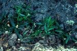 Moehringia macrophylla