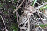 Ophiogomphus susbehcha