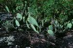 Opuntia macrorhiza
