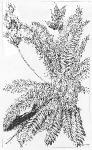Oxytropis viscida