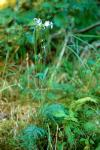 Polemonium occidentale ssp. lacustre