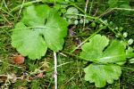 Ranunculus lapponicus