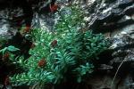 Rhodiola integrifolia ssp. leedyi