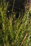 Rhynchospora capillacea