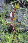 Rotala ramosior