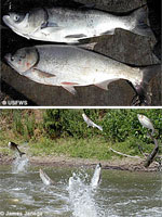 photos of asian carp