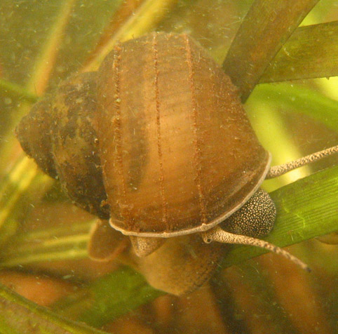 Chinese mystery snail
