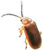adult Galerucella calmariensis: a biological control agent