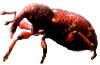 adult Hylobius transversovittatus: a biological control agent