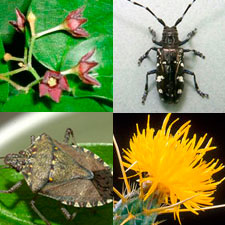 Photo: early detection photos: Black-swallow wort, Asian long-horned beetle, Brown marmorated stink bug, Yellow star thistle