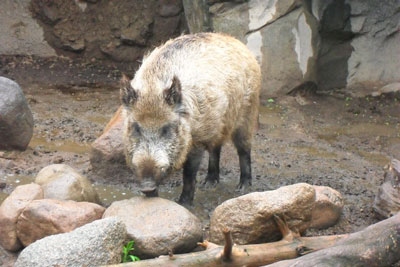 photo: Eurasian swine