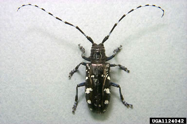 photo: Asian long-horned beetle