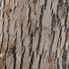 Bark of ash tree with showing woodpecker flecking