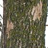 Ash tree showing classic woodpecker flecking