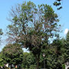 Canopy dieback and thinning begin in top one-third of canopy. Photo from forestryimages.org